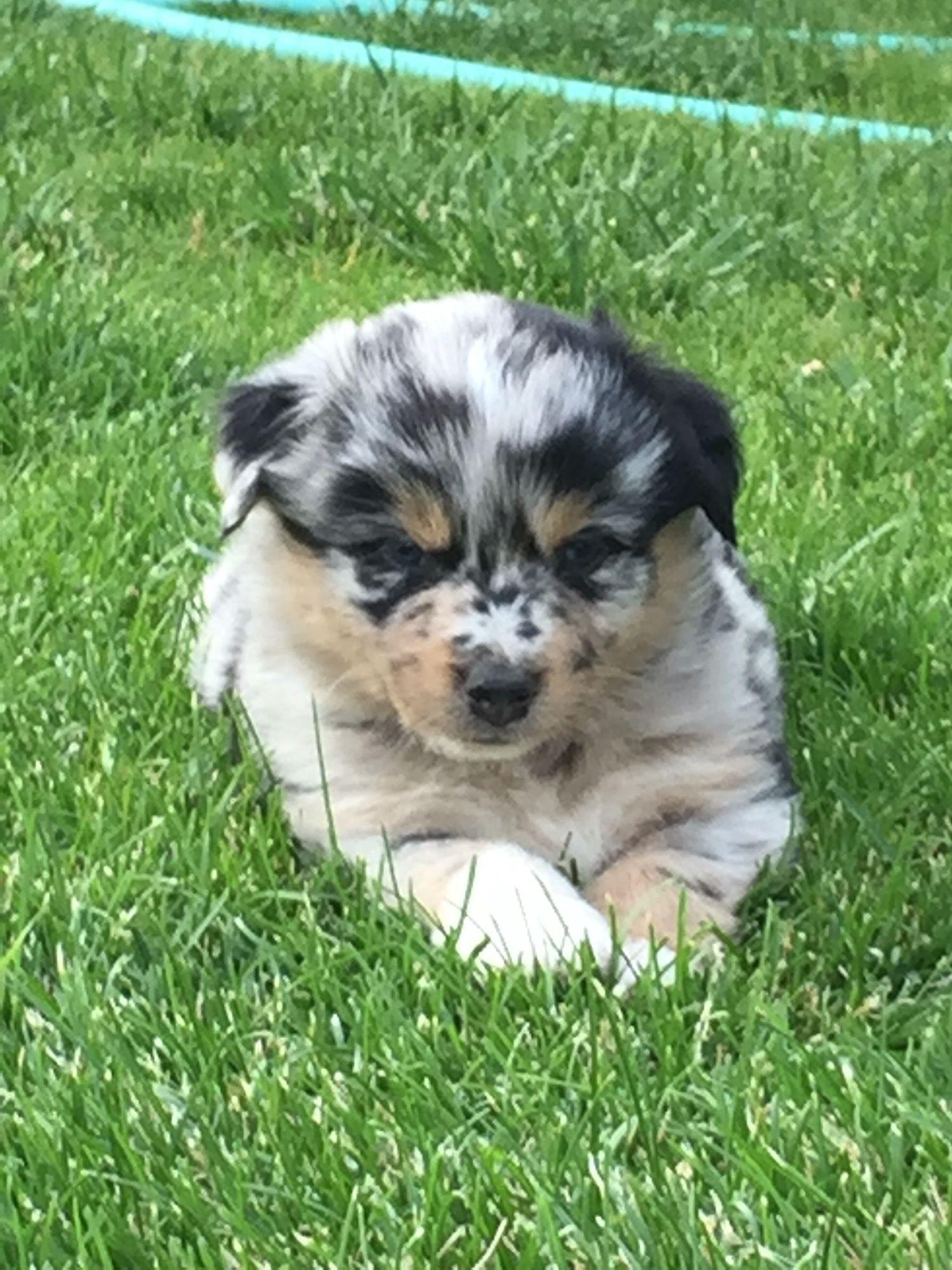 4 week old Merle Aussie/Collie Puppy love, Puppies, Collie