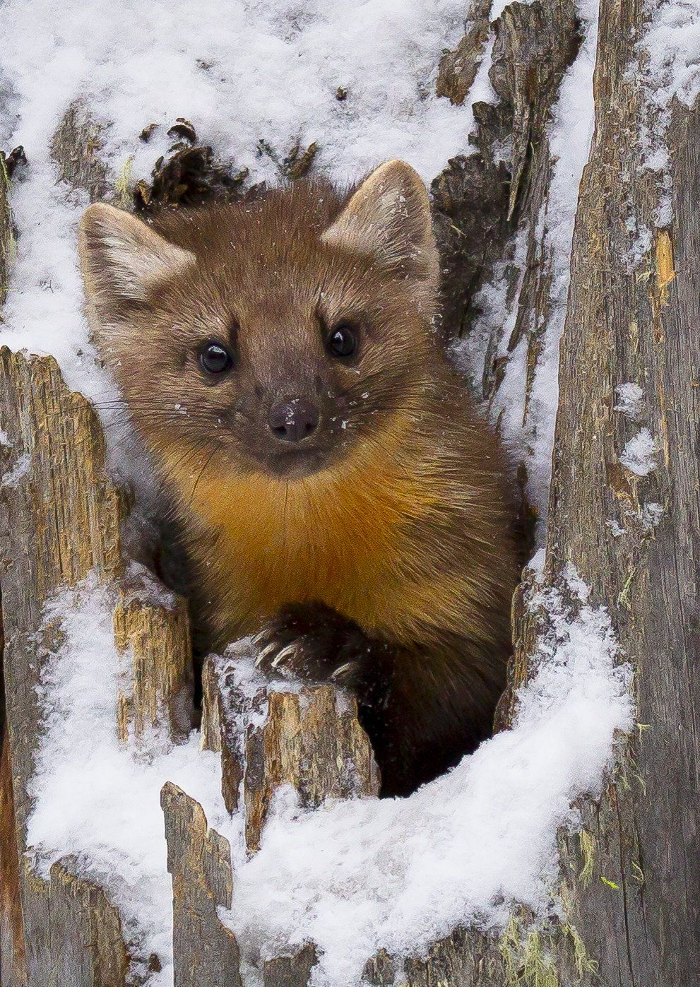 One of two pine martens romping in tree stumps on a very