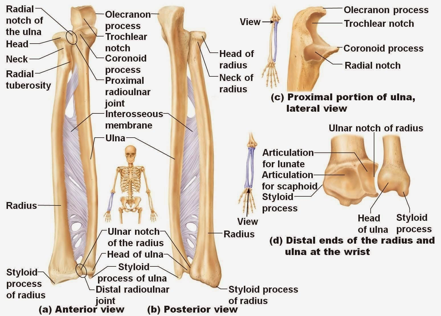 Radius Bone Anatomy Ppt Radius Bone Anatomy Human Anatomy Diagram