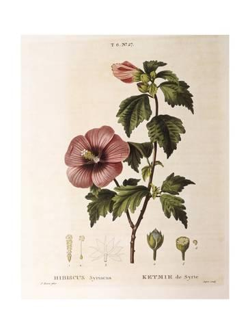 Giclee Print Rose Of Sharon Hibiscus Syriacus 24x18in