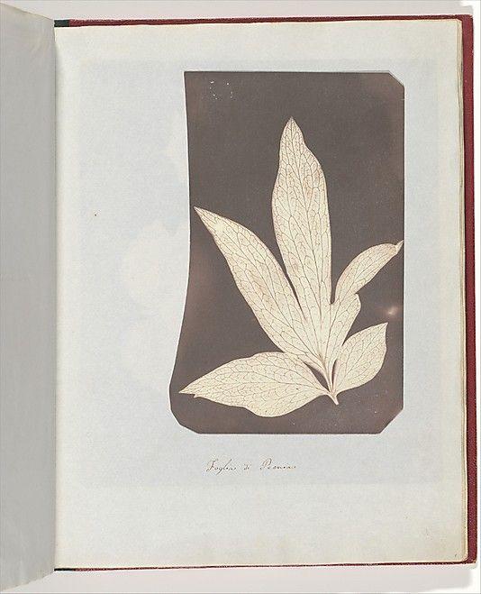 William Henry Fox Talbot (British, 1800–1877), Foglia di Peonia, 1839, Photogenic drawing, 18.6 x 12 cm (7 5/16 x 4 3/4 in.), irregularly trimmed