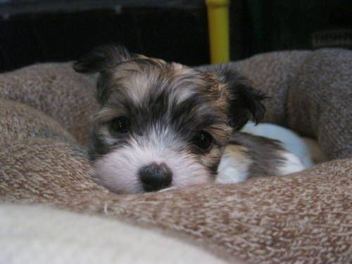 Maltese Chihuahua Malchi Puppies Puppies Cute Animals Chihuahua Lover