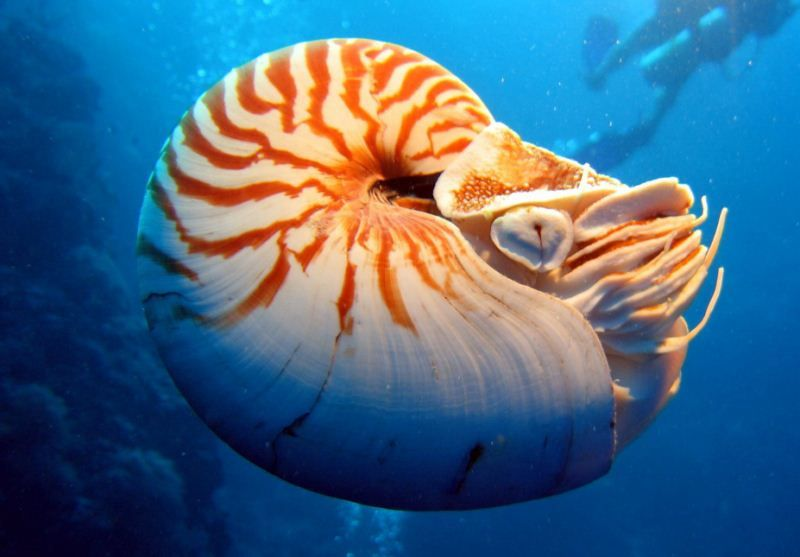 https://flic.kr/p/dRpKML | Nautilus pompilius