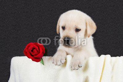 Labrador with a rose