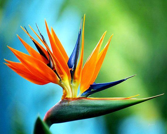 Bird Of Paradise Art Print On Metal Birds Of Paradise Flower Birds Of Paradise Plant Paradise Plant