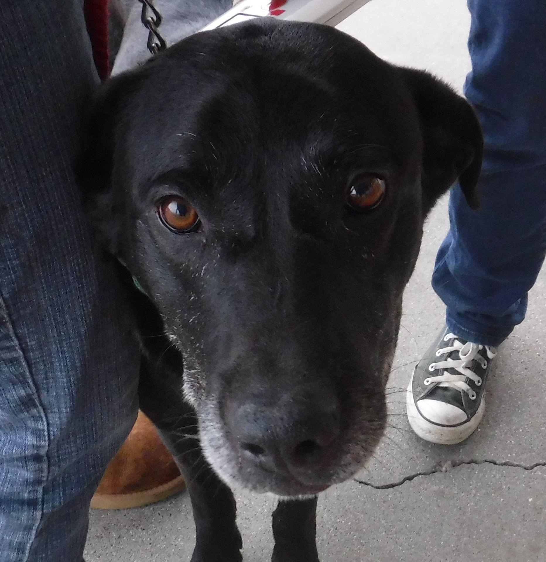 Labrador retriever dog for adoption in chico ca adn