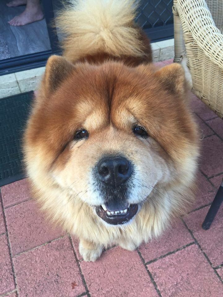 Answers To Questions About Chow Chows From Real Owners Chow Chow