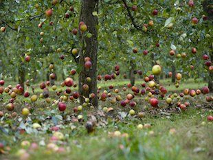 Image result for APPLES FALLS OUT OF THE TREE