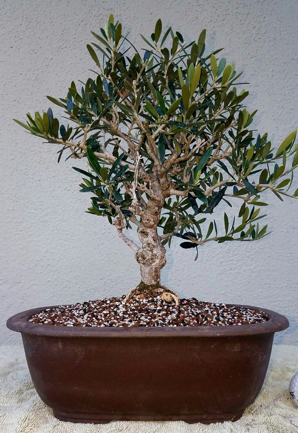 Picture 3 I Repotted My Olive Tree Pre Bonsai I Chose A