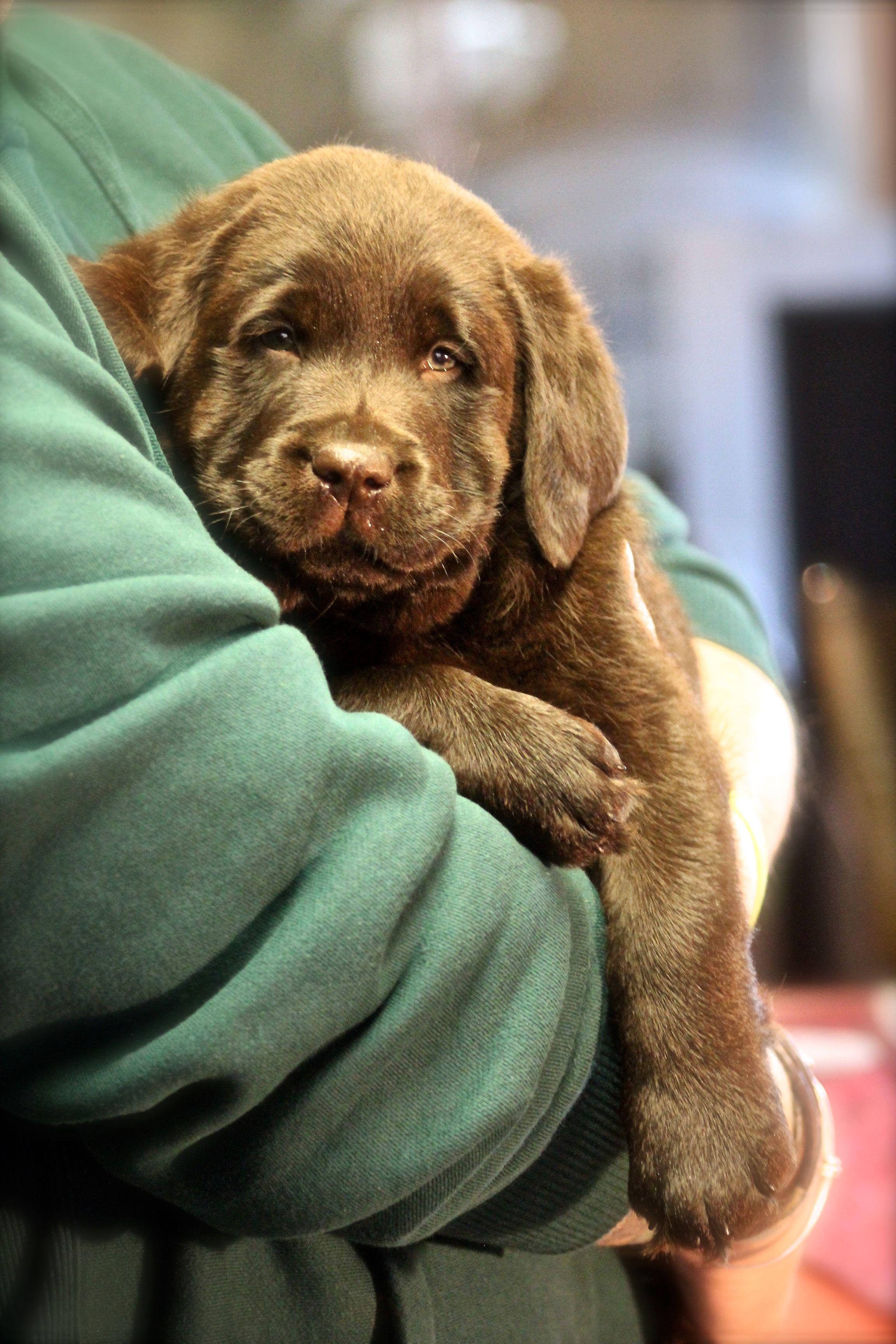 7 Week Old Chocolate Boy Labrador Puppy Labrador Puppy Training Lab Puppies
