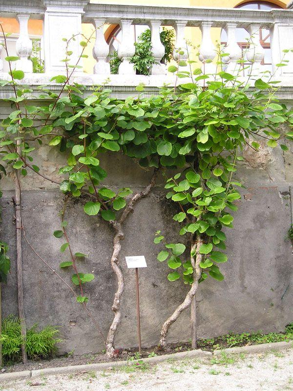 Pianta di actinidia piante per il nord italia pinterest for Pianta di more