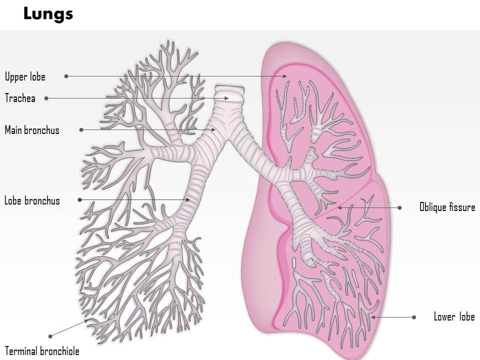 0514 lungs respiratory system human anatomy images for powerpoint ...