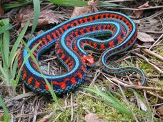The Beautiful California Red Sided Garter Snake Thamnophis