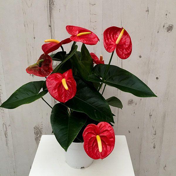 Buy Flamingo Flower Anthurium Red Champion Anthbnena Pbr Delivery By Waitrose Garden In Association With Cro Anthurium Flamingo Flower Amazing Flowers