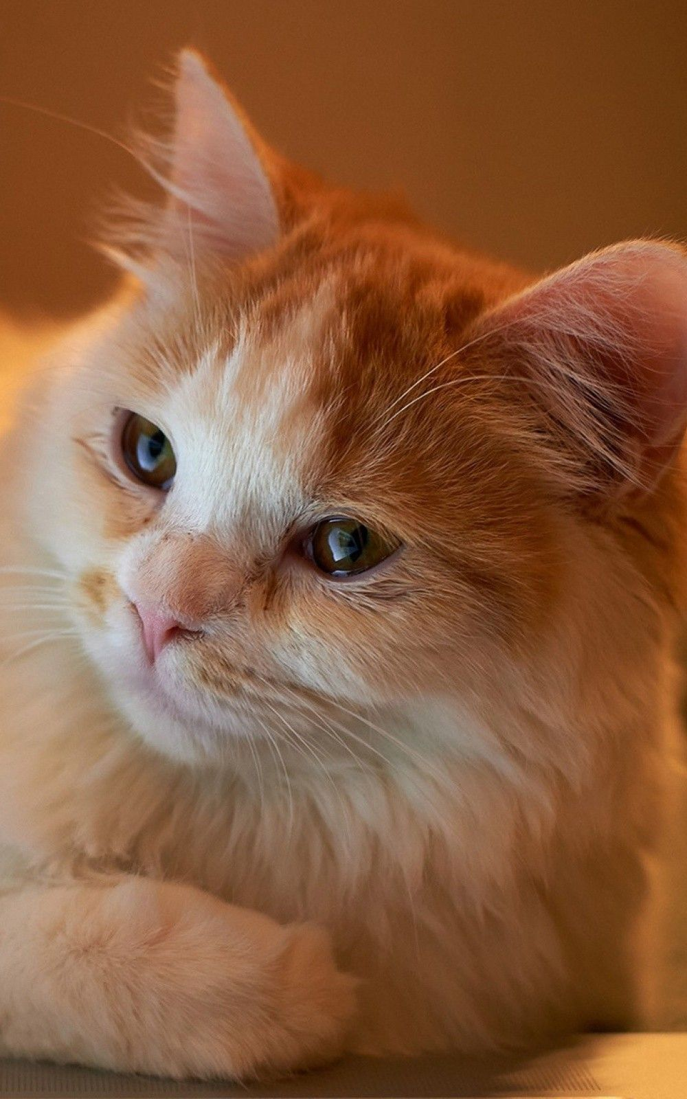 Animals Iphone 6 Plus Wallpapers Orange Fluffy Cat Iphone 6 Plus Hd Wallpaper