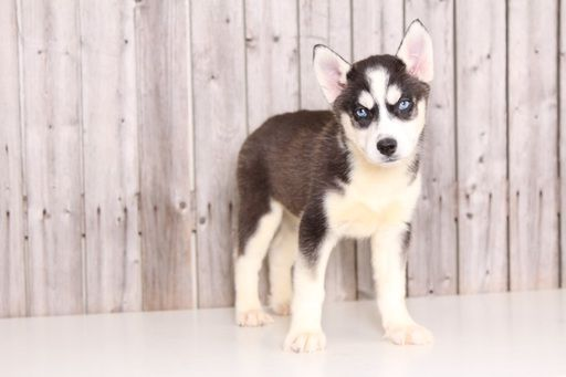 Siberian Husky Puppy For Sale In Mount Vernon Oh Adn 31627 On