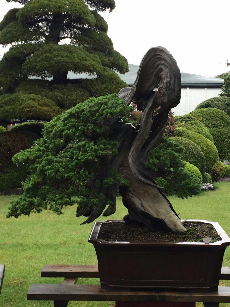 pin rbol bonsai de interior