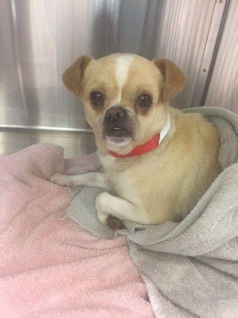 Chug Dog For Adoption In Vacaville Ca Adn 433996 On Puppyfinder Com Gender Male Age Adult Chug Dog Dog Adoption Dogs