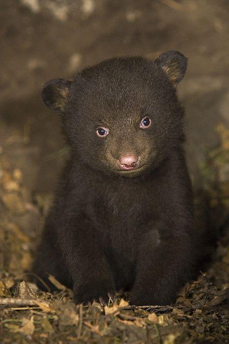 Seven week-old black bear cub in den.