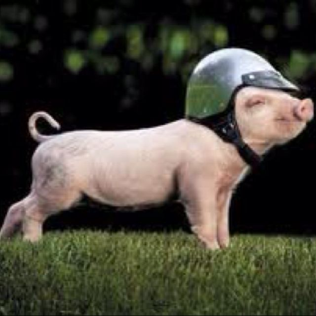:)  This little piggy went to market - on his bike!