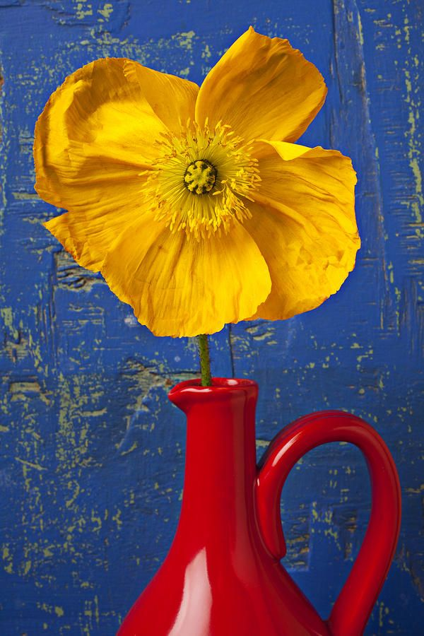 Yellow Iceland Poppy In Red Pitcher Against Worn Blue