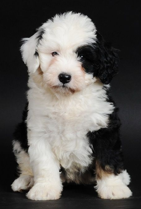 Old English Sheep Dogs Are Soooo Cute When They Re Puppies Not