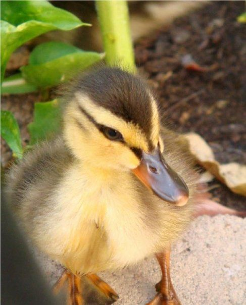 How To Raise Baby Ducklings