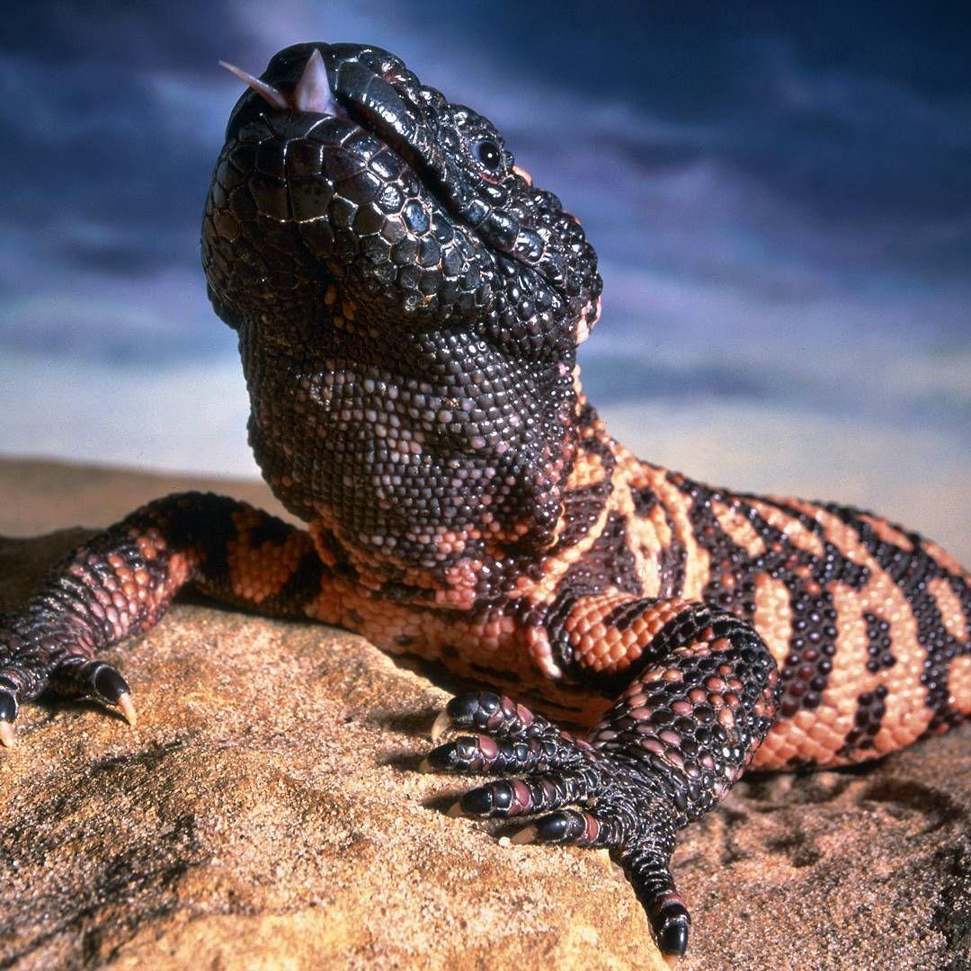El monstruo de Gila es uno de los pocos lagartos venenosos en el ...