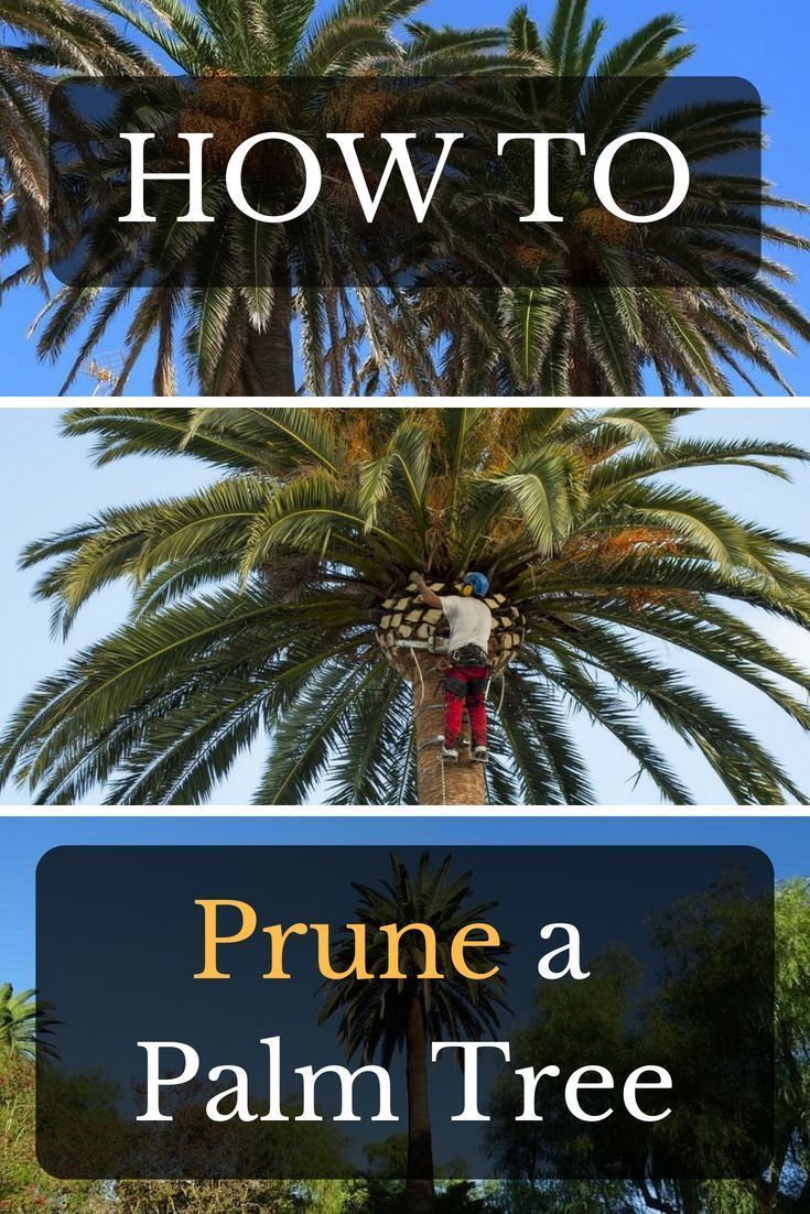 How to prune a palm tree when to prune a palm and should