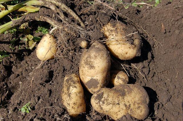 Jardin particulier Et si nous cultivions nos pommes de terre - Ou Trouver De La Terre De Jardin
