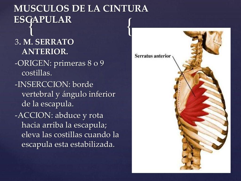 MUSCULOS DE LA CINTURA ESCAPULAR 3. M. SERRATO ANTERIOR. -ORIGEN ...