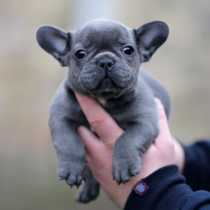 French bulldogs for sale in york pa