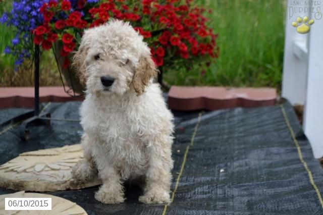Waldo Cockapoo Puppy For Sale In Newcomerstown Oh Cockapoo Puppies For Sale Cockapoo Puppies Puppies For Sale