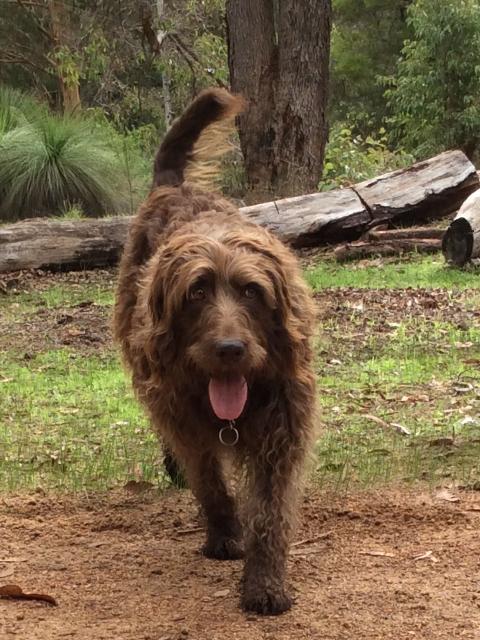 Crazy Daisy our labradoodle on bush patrol in the Perth