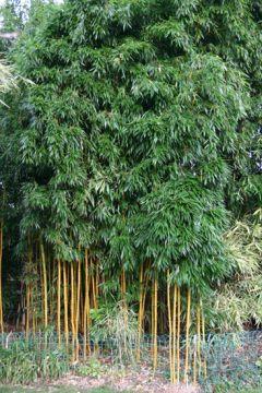 Bambus Pflanzenshop Phyllostachys Aureosulcata Aureocaulis