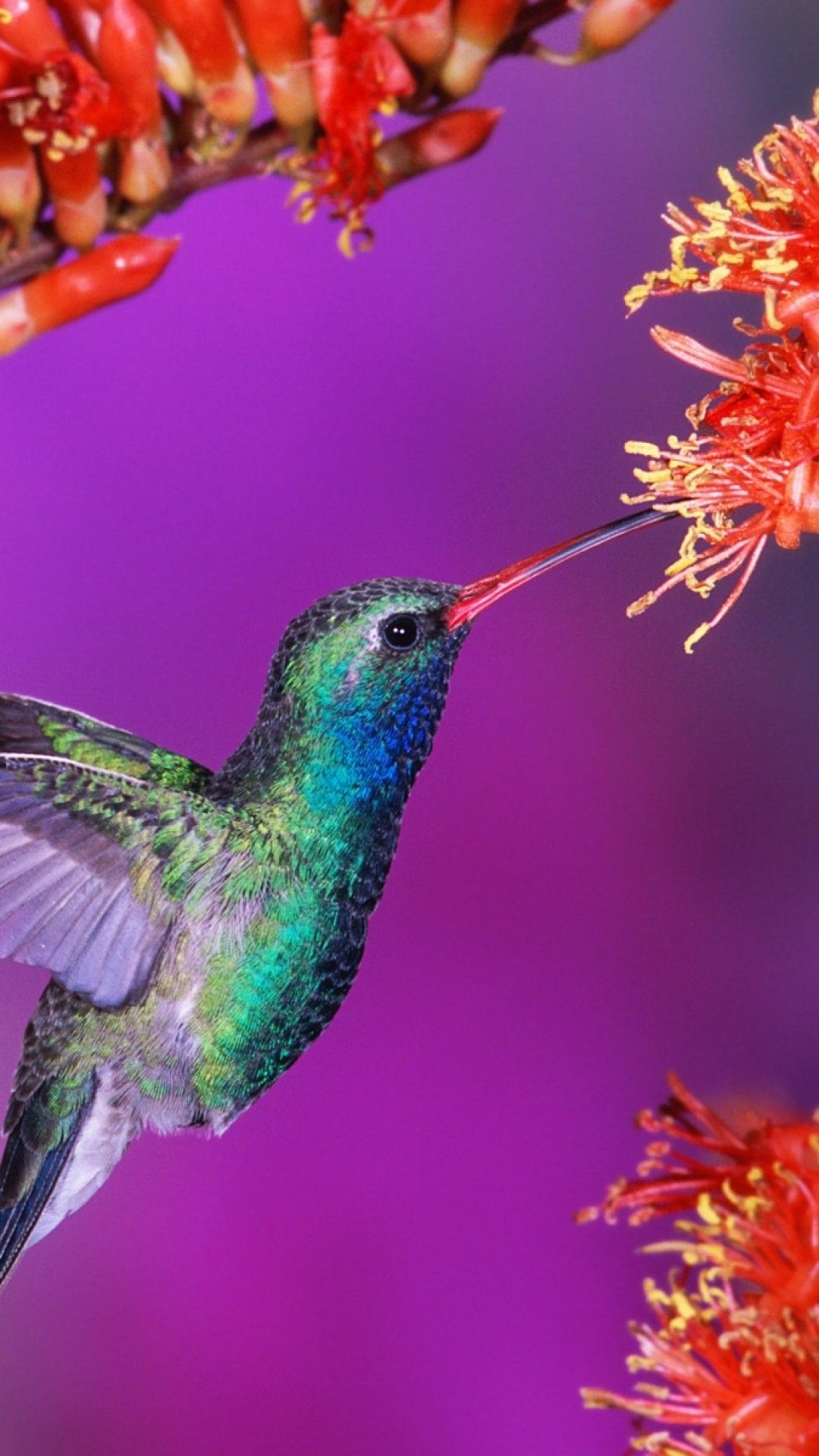 Hummingbird Wallpaper Background (70+ images) (With images