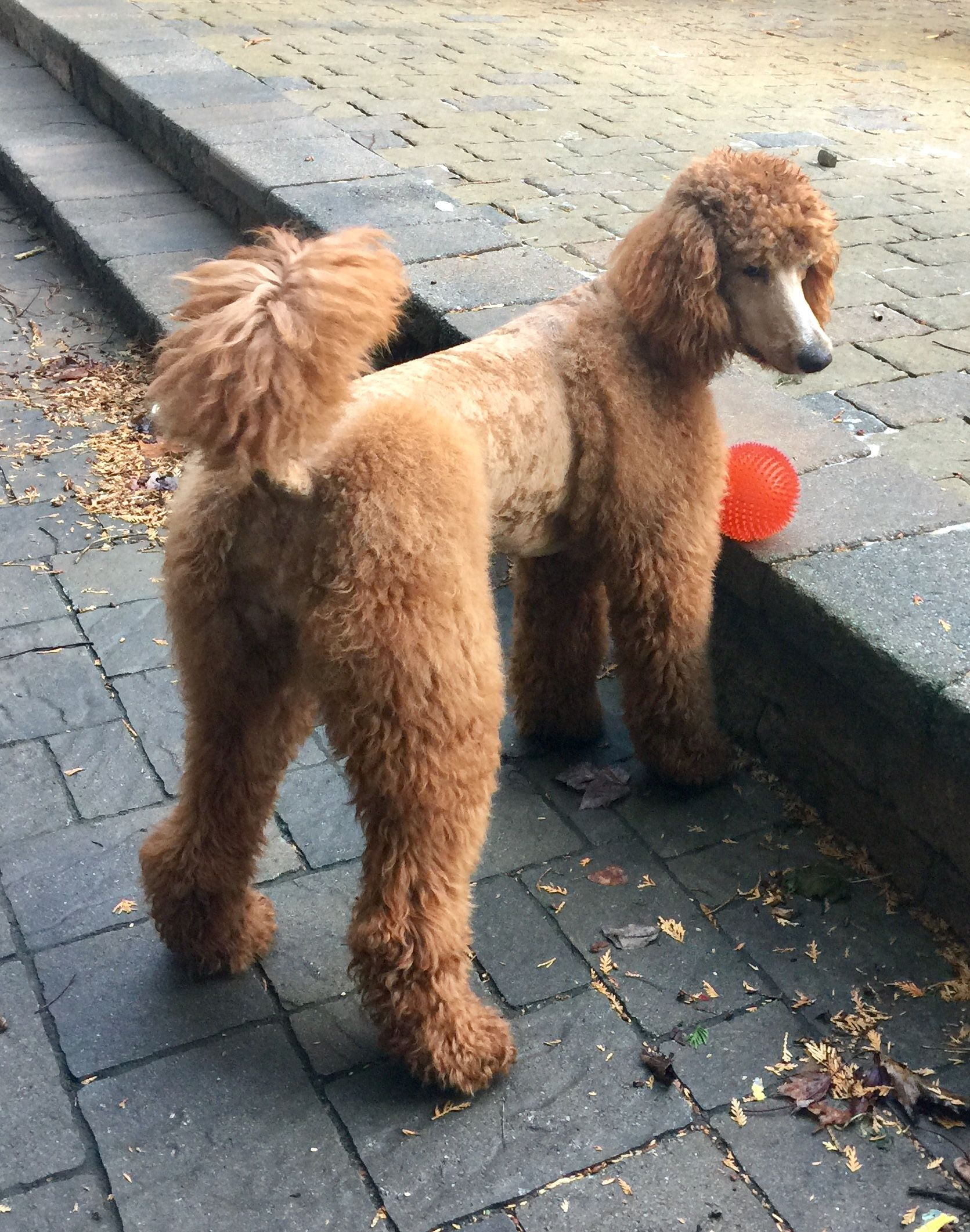 Storm 1 Year Old 24 Inches 45 Pounds Standard Poodle Fall Day