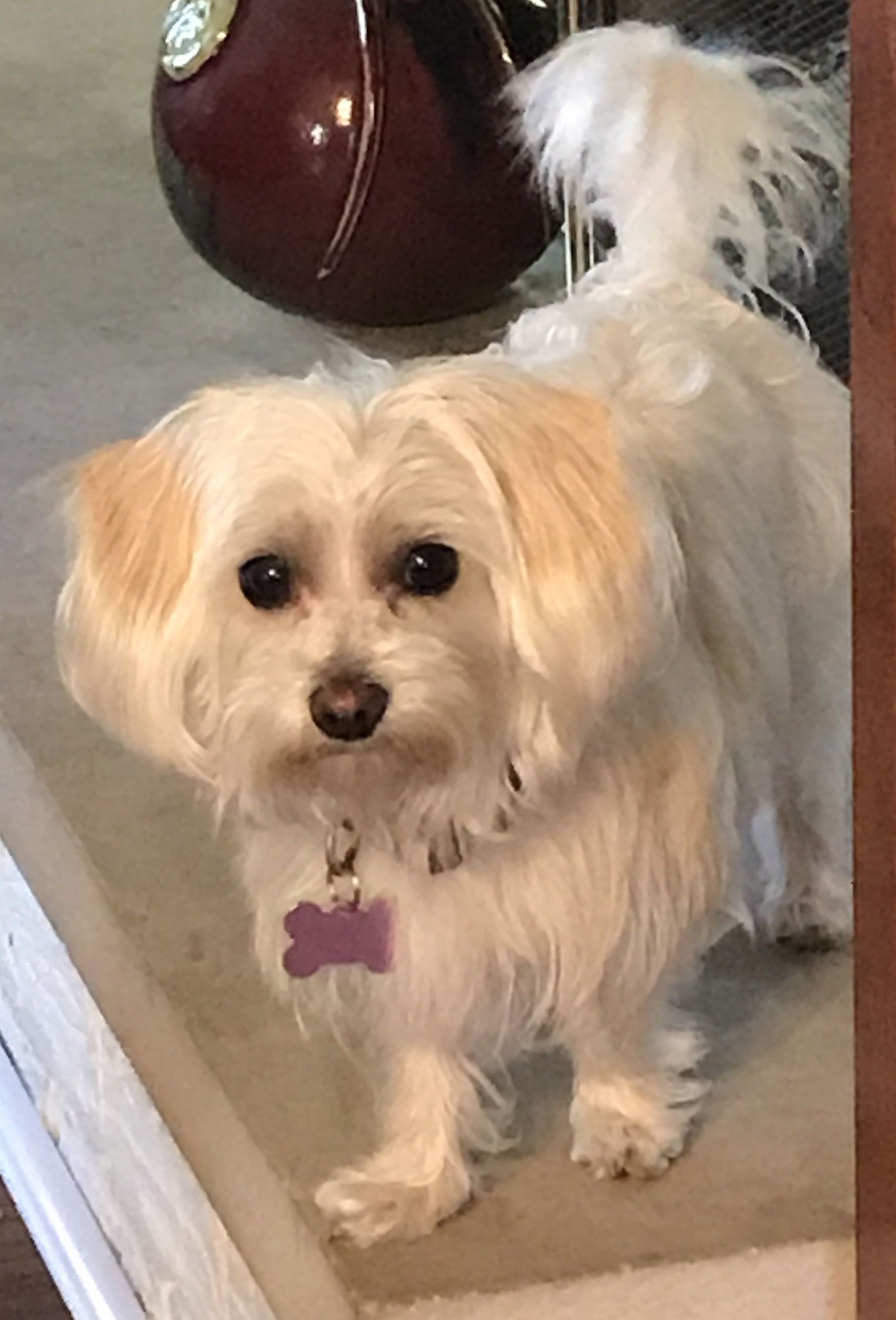 Adopt DREAM in ILLINOIS on Poodle mix dogs, Maltese dogs