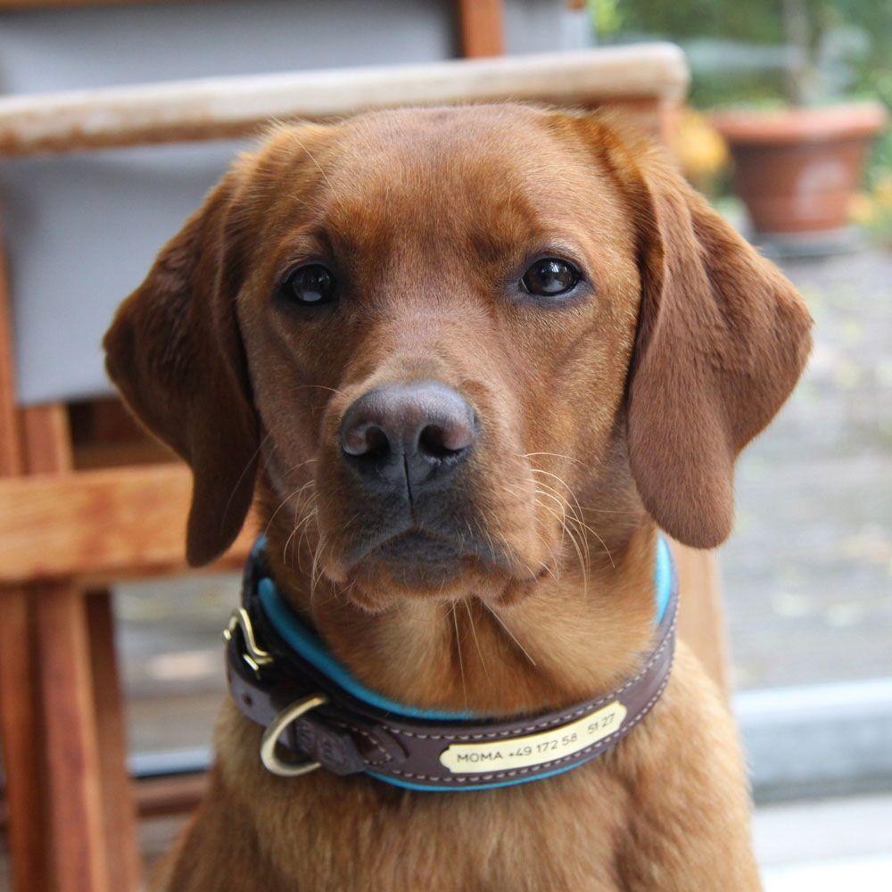 Tobs Dogs Com Moma Tragt Stolz Ihr Neues Massgerfertigtes Tobs Classic Halsband Rotbraun Turkis Naturlich Mit Gravurschi Hunde Gravurschilder Braun Werden