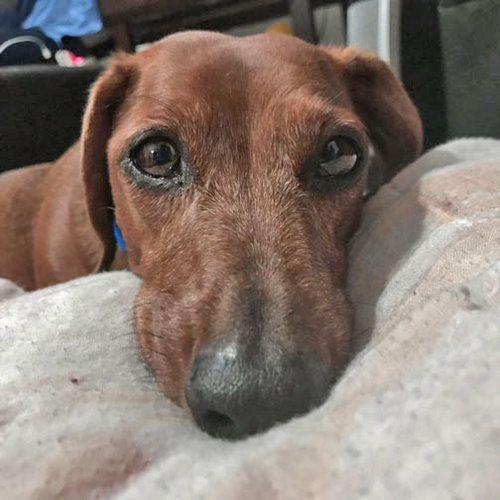 I D Love To Be Your New Best Friend Weenie Dogs Dachshund Lovers Weiner Dog