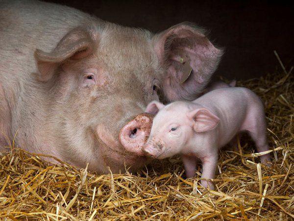 Link Permanente Da Imagem Incorporada All Gods Creatures Mother And Baby Animals Pig Images