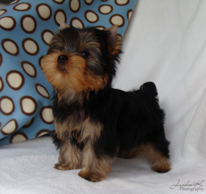 Jala Yorkies In Indiana Available Yorkshire Terrier Puppies Yorkshire Terrier Yorkie Puppy