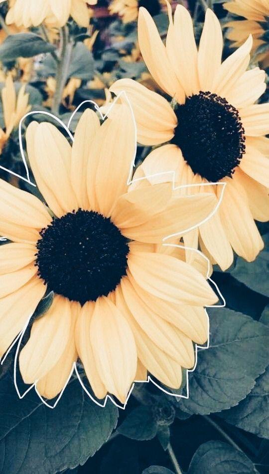 𝓟𝓲𝓷𝓽𝓮𝓻𝓮𝓼𝓽 𝓫𝓻𝓲𝓽𝔁𝓻𝓪𝓶𝓲𝓻𝓮𝔃 Sunflower