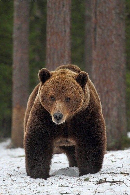 Eurasian brown bear (Ursus arctos arctos