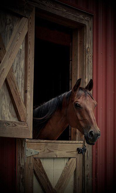 Bay Horse In Barn Door.