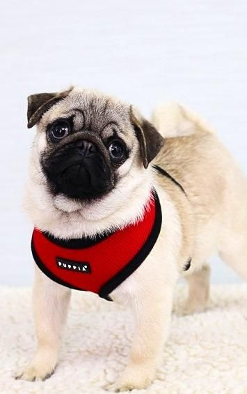 Red Puppia Haarness In Sizes Xs Xxl At Www Ilovepugs Co Uk Post
