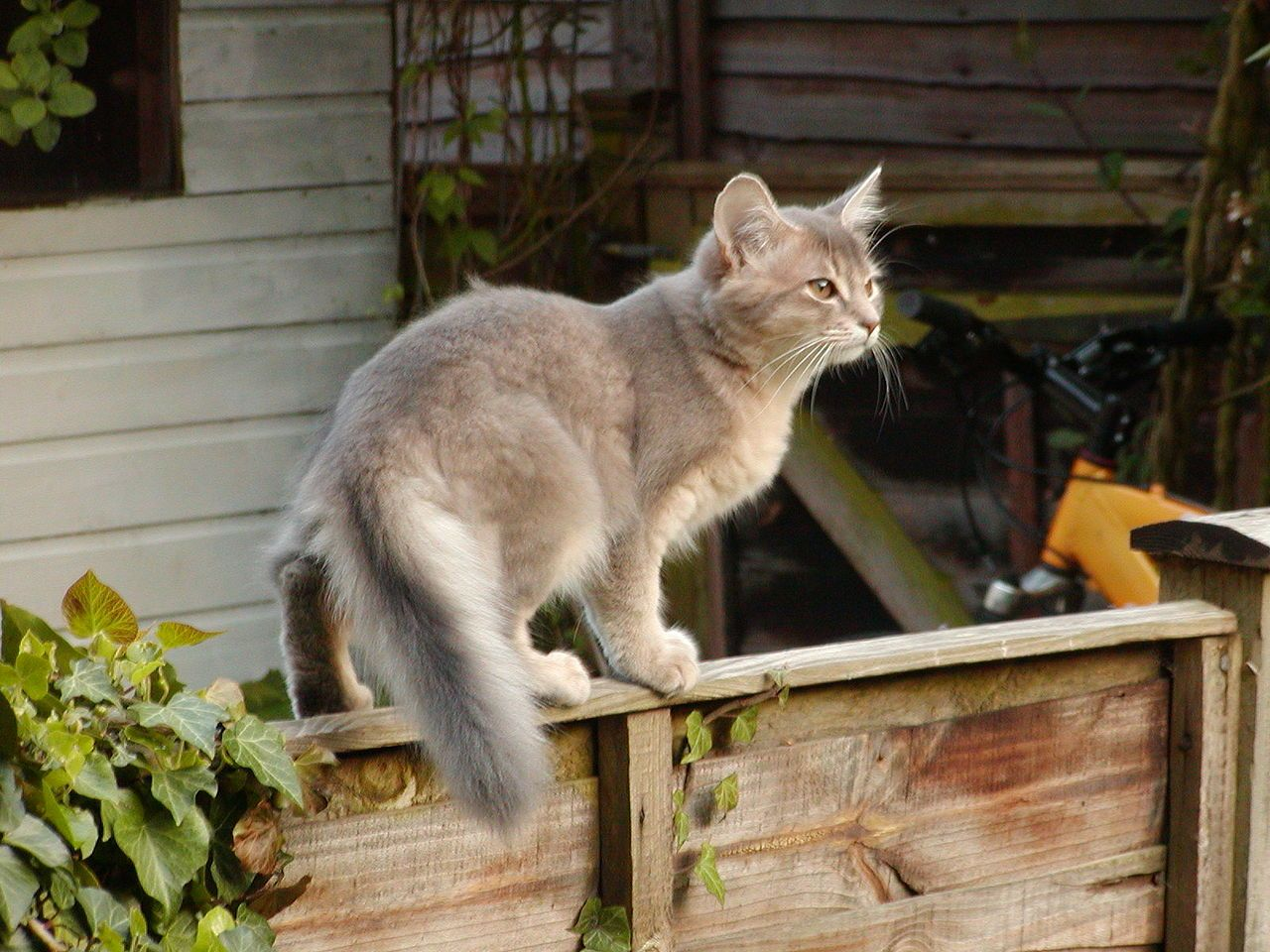 Blue Somali kitten age 3 months - Somali cat - Wikipedia, the free ...