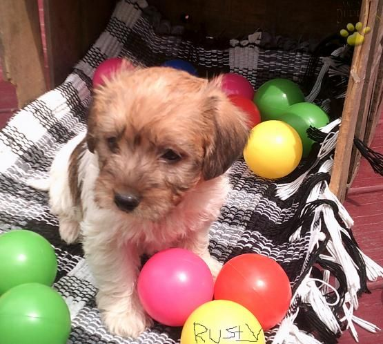 Rusty Loves To Romp And Play With The Kids Terrier Mix Puppies For Sale Puppies