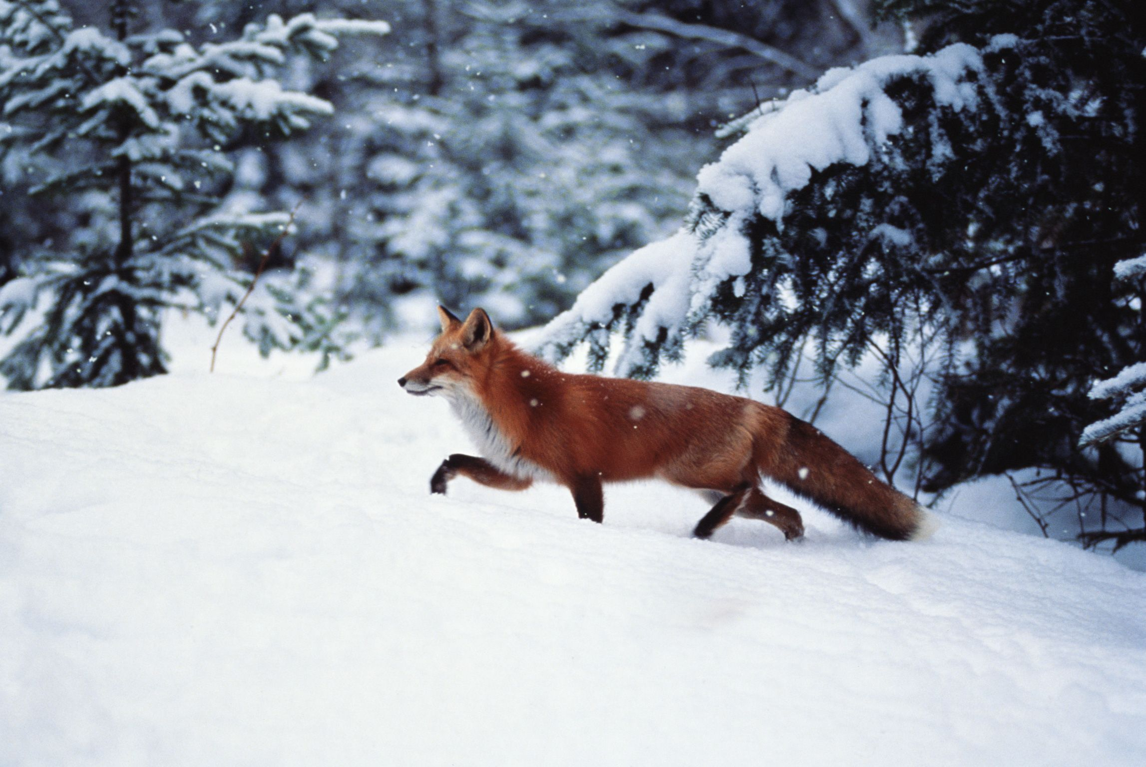 This looks exactly like the fox that crossed the road in front of me today 2-23-12! Breathtaking!