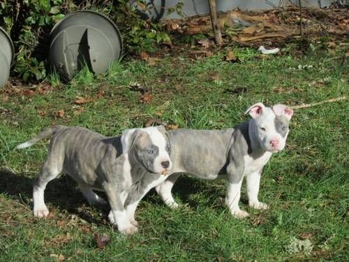 Nkc American Bulldog Puppies Out Of Tank Kennel Sandy Oregon